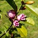 Michelia Fairy bluch au Jardin de la Vallée de Berville en Roumois