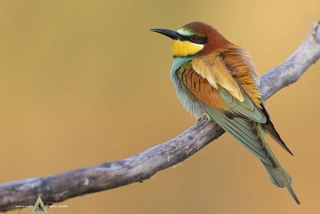 Gruccione - Merops apiaster