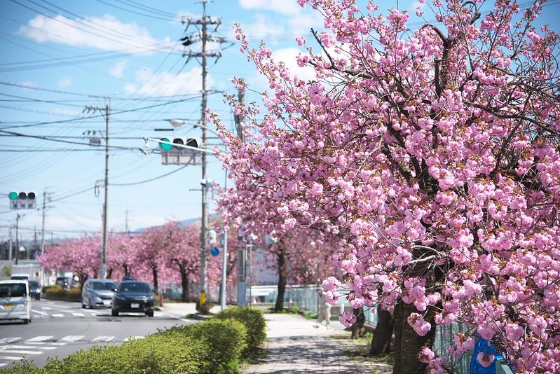 長野県岡谷市 塚間川沿いの八重桜