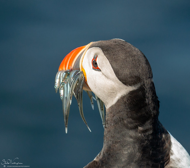 Puffin, rear view.
