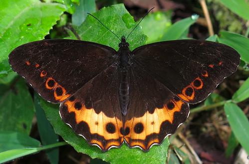 Oxeoschistus iphigenia
