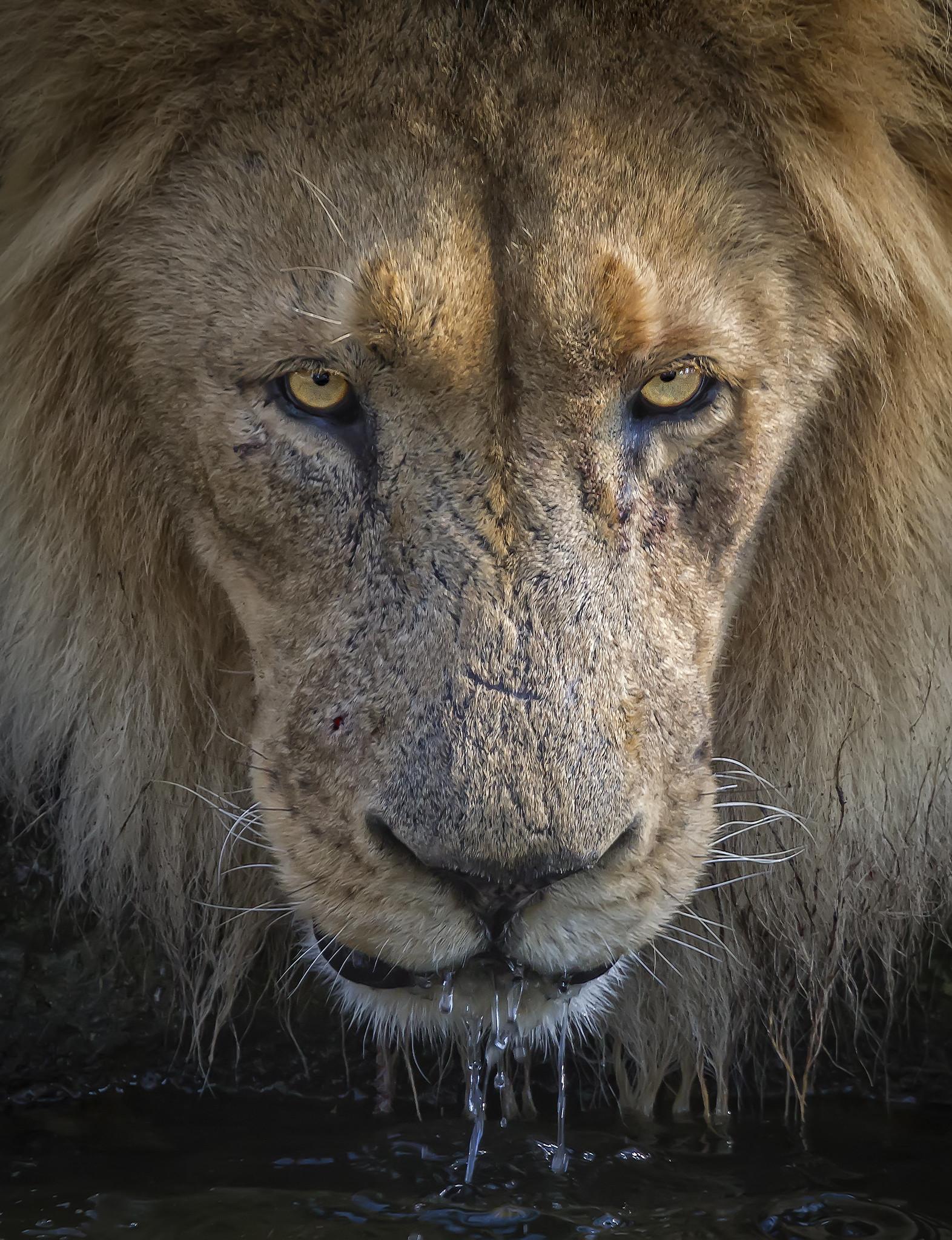 Leon Africano (Sudafrica)