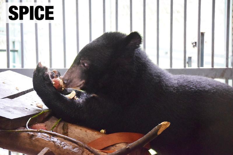 V204 Spice eating apple on ladder