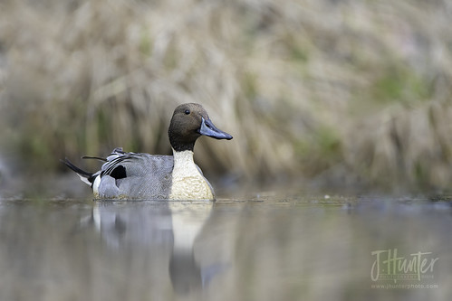 Northern Pintail 3