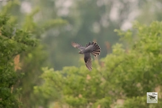 Common Cuckoo Germany_w_(Cuculus canorus)  3763
