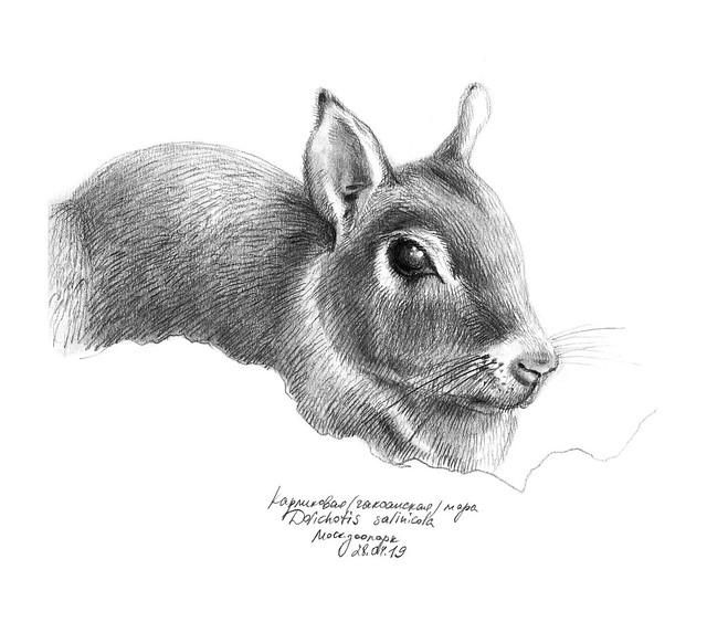 Dolichotis salinicola sketch