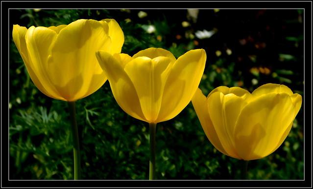 Żółte tulipany.