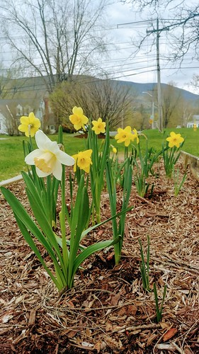 Front Daffodils - May 1, 2019