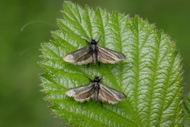 Zwei Langhornmotten (Adela reaumurella) auf einem Brombeerblatt
