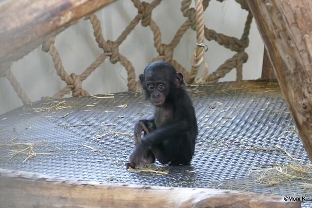 11-Bonobo