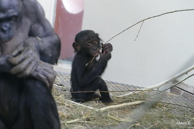 09-Bonobo