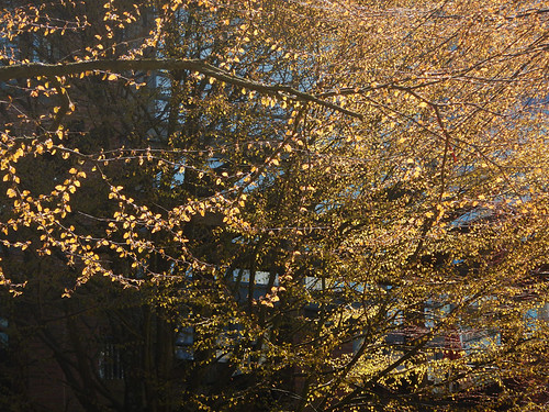 Light hitting the round coppery coloured leaves of this tree in spring