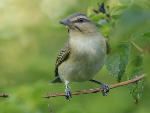 Black-whiskered Vireo 01-20190504