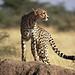 Cheetah, Piaya Serengeti, Tanzania