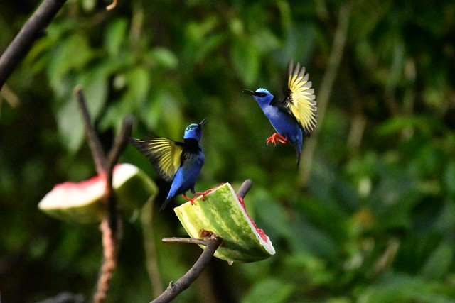 Red-legged Honeycreepers (males). Arenal Observatory Lodge. Alajuela, Costa Rica.