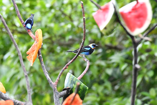 Golden-hooded Tanager and Red-legged Honeycreeper. Arenal Observatory Lodge. Alajuela, Costa Rica.