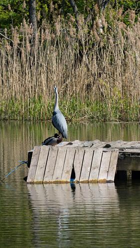 Retreating heron, Bag's Pool