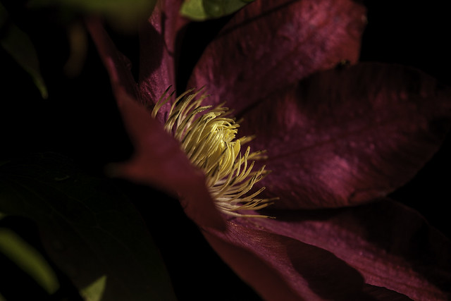 Clematis at Sunset