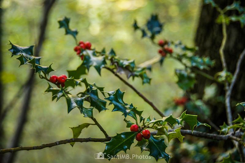 Frutos de acebo en noviembre