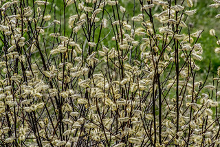 Willow Flowers | by Stephen Downes