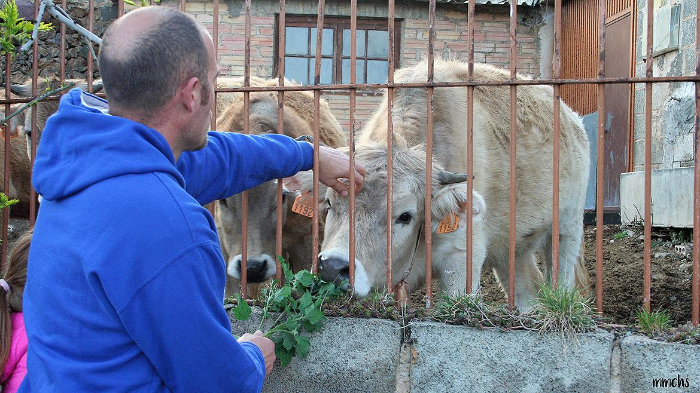alimentando a las vacas en los Pirineos