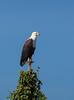 Africa Fish Eagle (Haliaeetus vocifer) by piazzi1969
