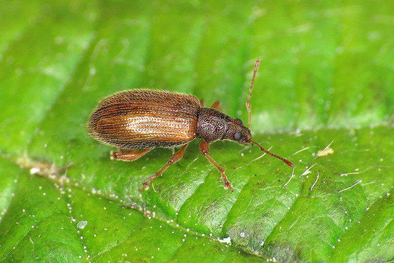 Phyllobius oblongus - Brown Leaf Weevil