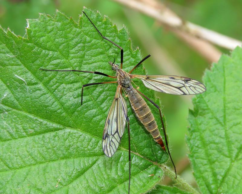 Tipula varipennis