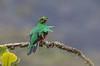 CA3I3415-Crested Quetzal