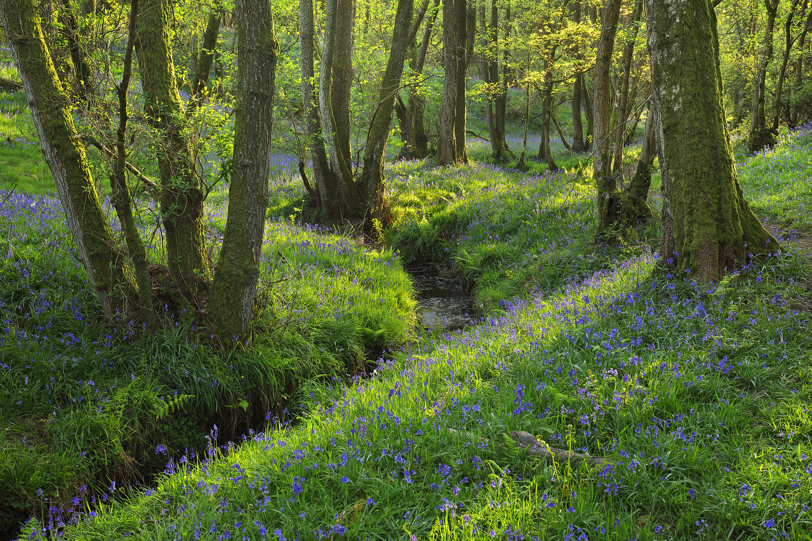 West Sussex Bluebell Wood and Stream
