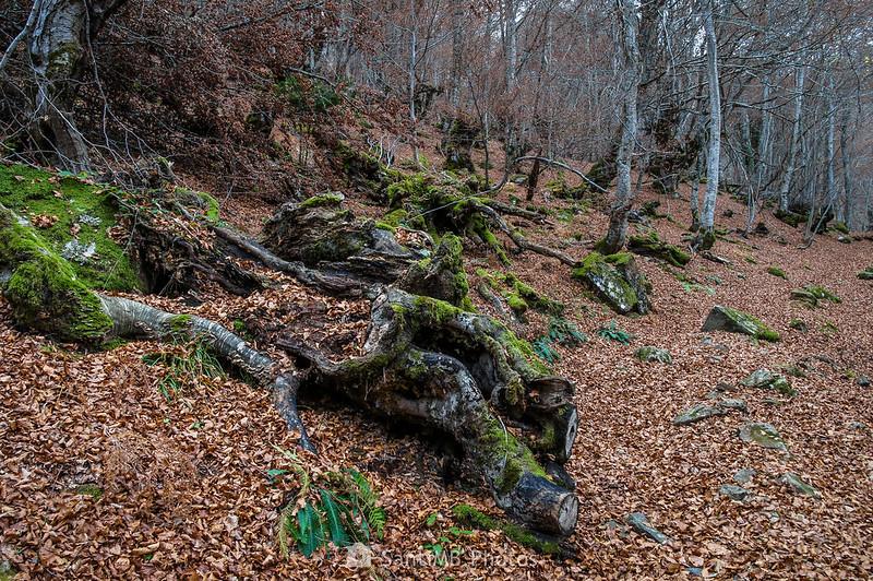 Cadáver de haya en el Bosque Encantado de Carlac