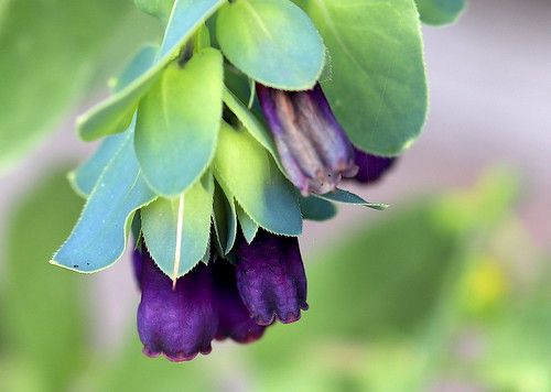 Honeywort 'Purpurascens' -  EXPLORE #145, 5.6.19.