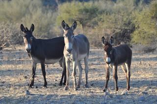 Donkey (Equus africanus asinus), Baja California Sur, Mexico