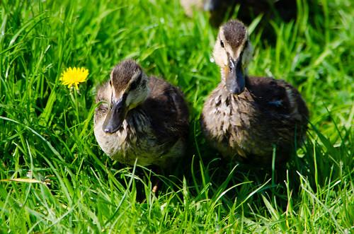 Ducklings ashore, Wightwick Mill Lock