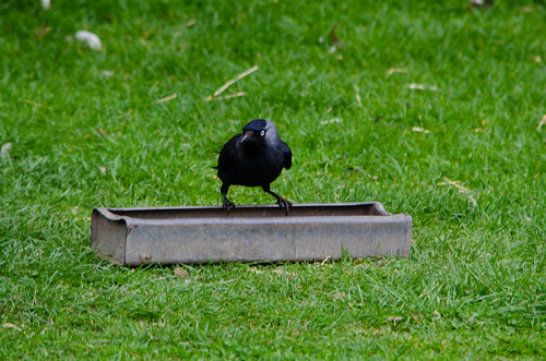 Jackdaw sneaking a quick drink