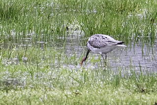 NY: Common Greenshank, 5358 | by donna lynn