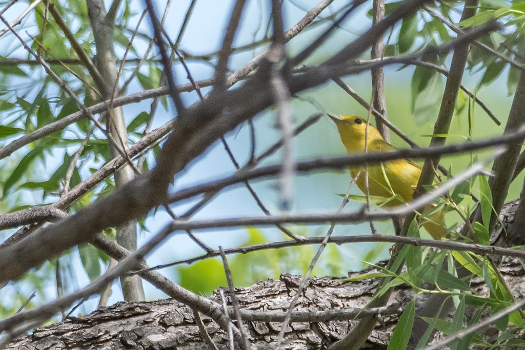 Least Flycatcher and Yellow Warbler-26