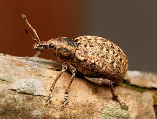 Liophloeus tessulatus_Areley Wood_040519