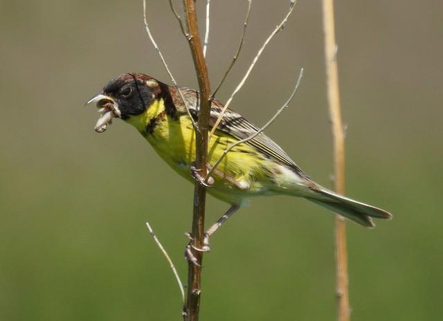 Yellow-breasted Bunting, Emberiza aureola, Дубровник