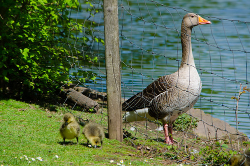 Greylag goslings, 2019, West Park