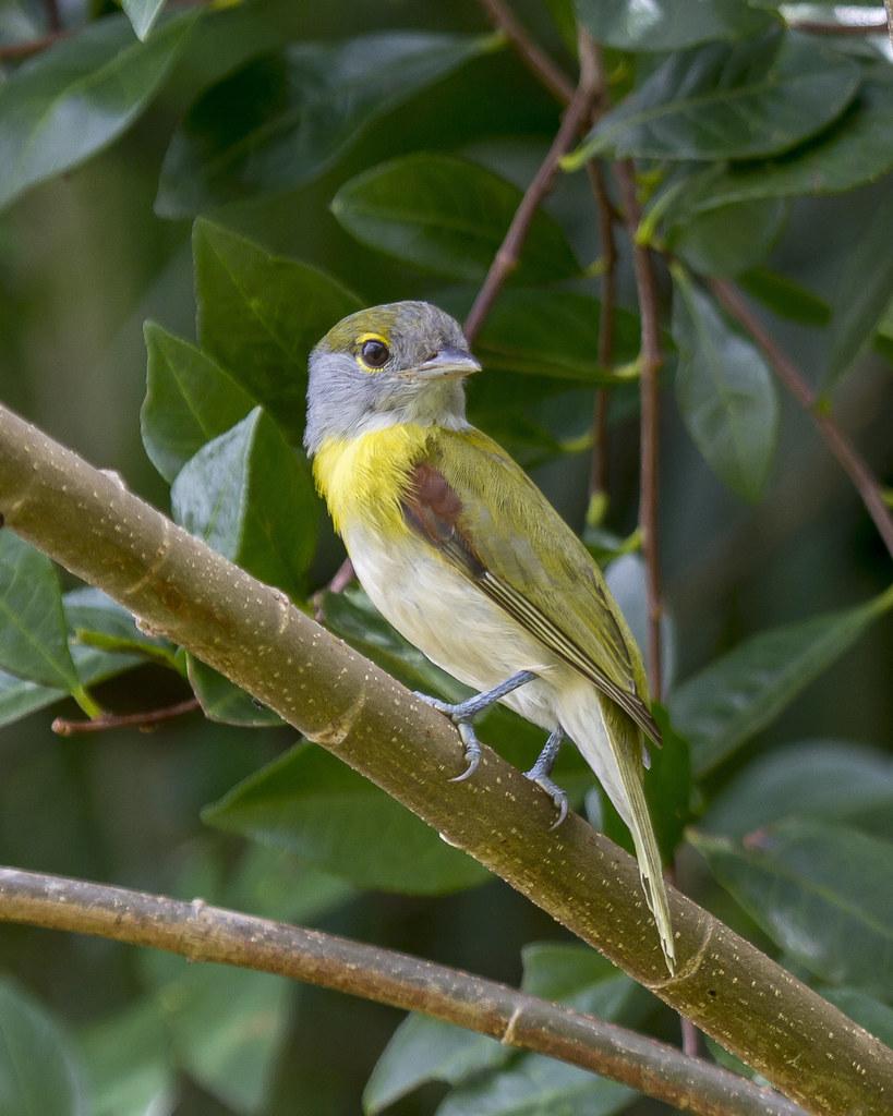 caneleiro-verde (Pachyramphus viridis) (Vieillot, 1816) Nome em Inglês Green-backed Becard
