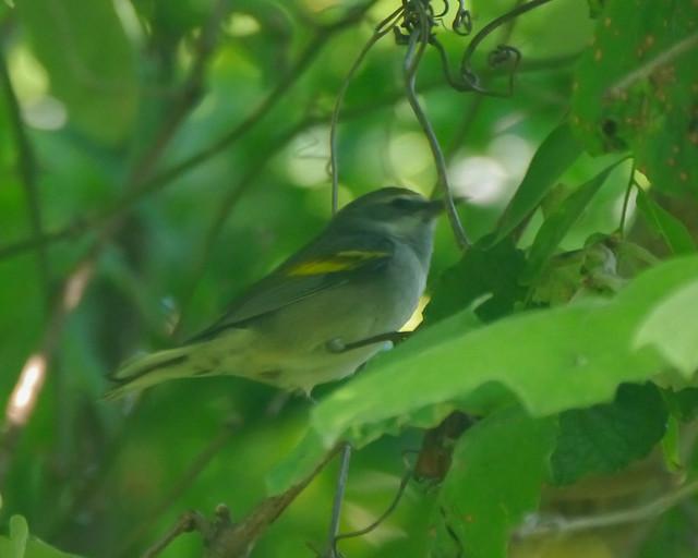 Golden-winged Warbler - 1 - 2
