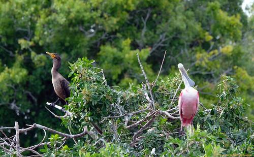 cormorant birdphotography birds waterbirds roseate spoonbill rookery fujifilm xt2 florida naturephotography