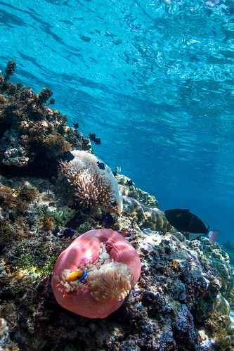 Moorea - Poisson clown | by Jerem Gte