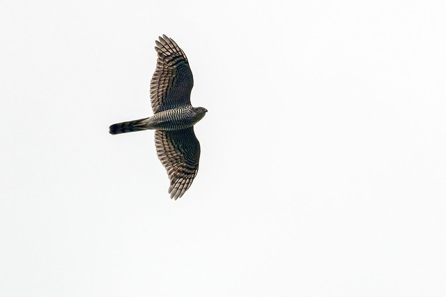 Sprawk above (2 of 2)