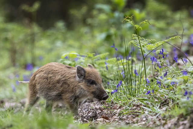 Wild Hoglet and Bluebells