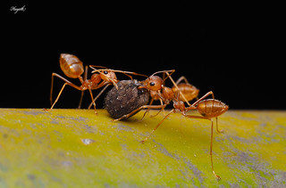 Lending a helping hand, Weaver ants carrying back an abdomen (of a spider?) | by walksthewildside