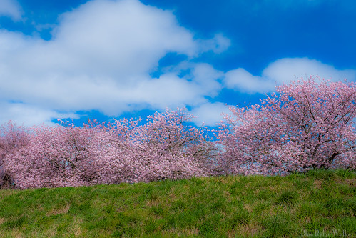 Row of cherry blossom trees on the embankment