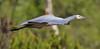 White-faced Heron Egretta novaehollandiae by Neil Cheshire