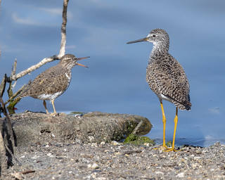Spotted Sandpiper and Lesser Yellowlegs | by wplynn